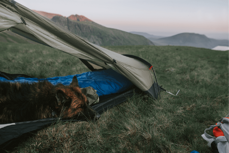 german shepherd laying in a tent