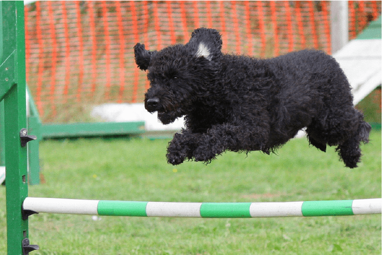 dark coated dog jumping over an obstacle