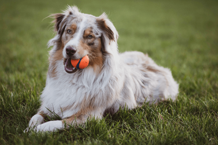 long coated dog laying in grass with ball in mouth