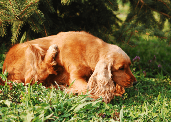 golden long coated spaniel dog lying under a tree, scratching. spring parasite prevention
