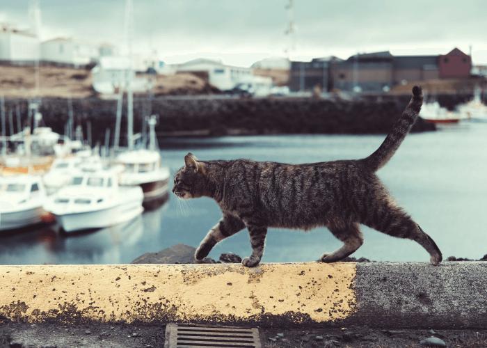 Cat walking cement wall overlooking water. 5 Cat Breeds That Love Water