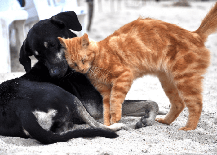 Black dog and orange cat snuggling on the beach