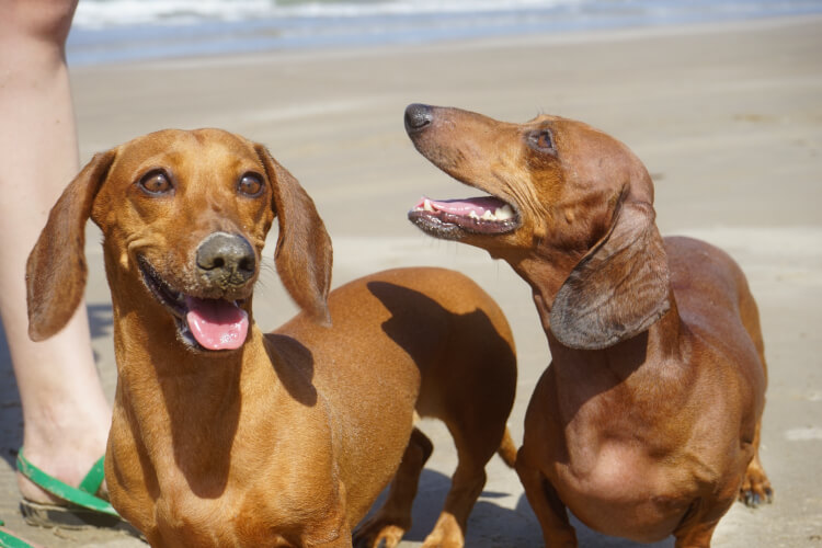 two brown dachshunds on the beach