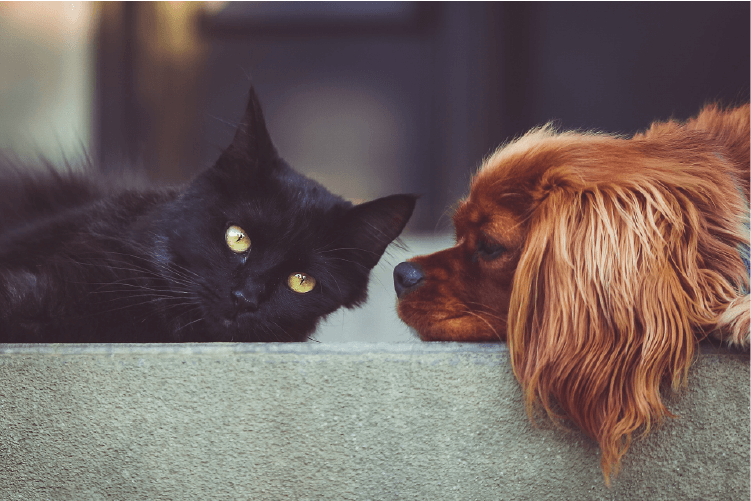 black cat with green eyes and red spaniel dog laying together on grey couch cushion How to Manage a Multiple Pet Household
