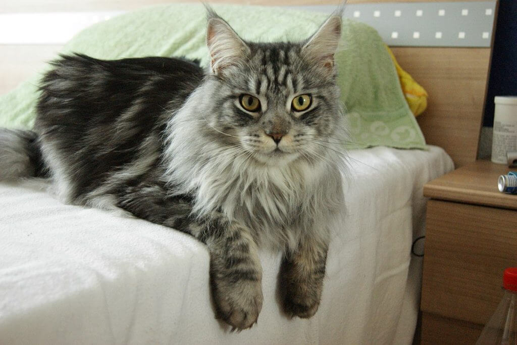 Maine_Coon_Cat_5 Cat Breeds That Love Water Maine coon cat sitting on a bed