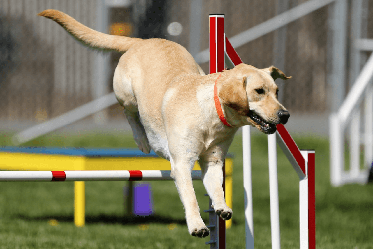 Yellow lab jumping over an obstacle in a course. Is Agility Training Right for Your Dog