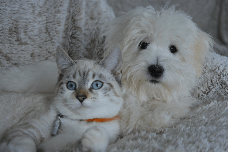 White cat with orange collar and blue eyes laying with white shaggy dog on a white/grey blanket.