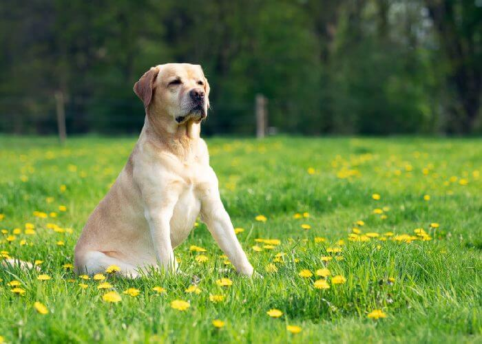Yellow labrador retriever sitting in a green field with yellow flowers