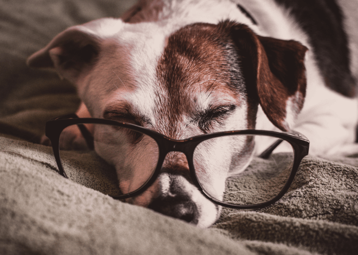 Small older dog laying on gray blanket with glasses. Critter Chatter Caring for Senior Pets