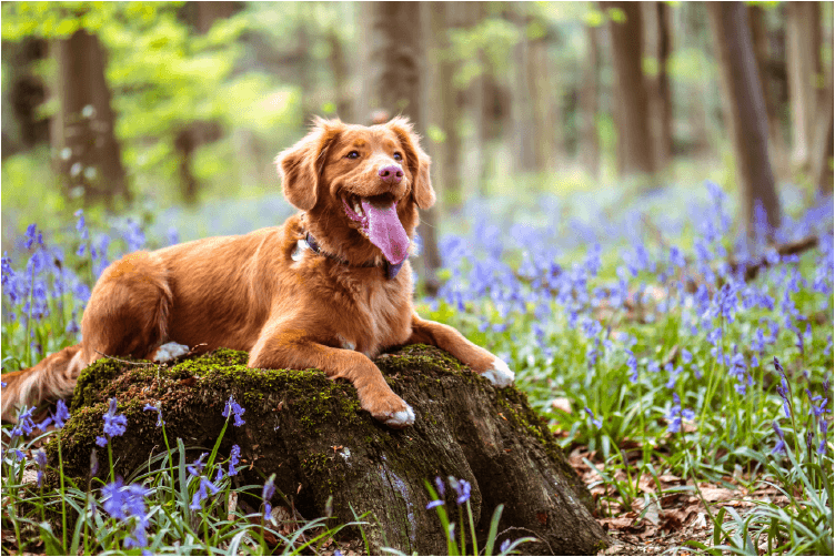 beautiful reddish long-coated dog sitting on a moss-covered stone surrounded by purple flowers.