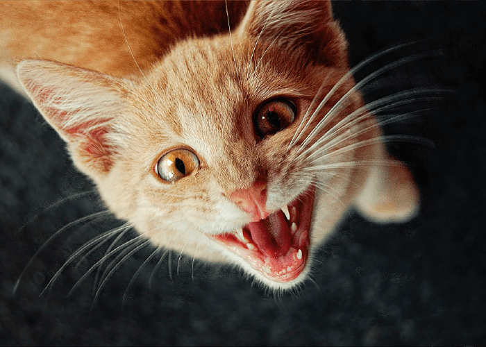 orange cat with mouth open