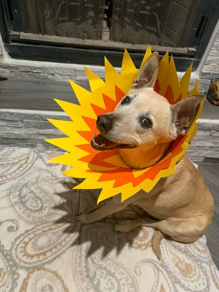 dog cone flower costume. tan dog with yellow and orange flower petals around head