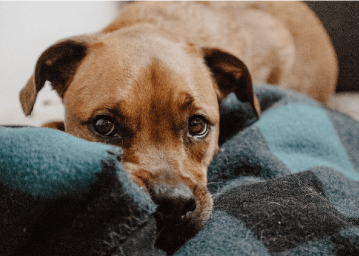 brown short coated dog laying on a navy flannel blanket