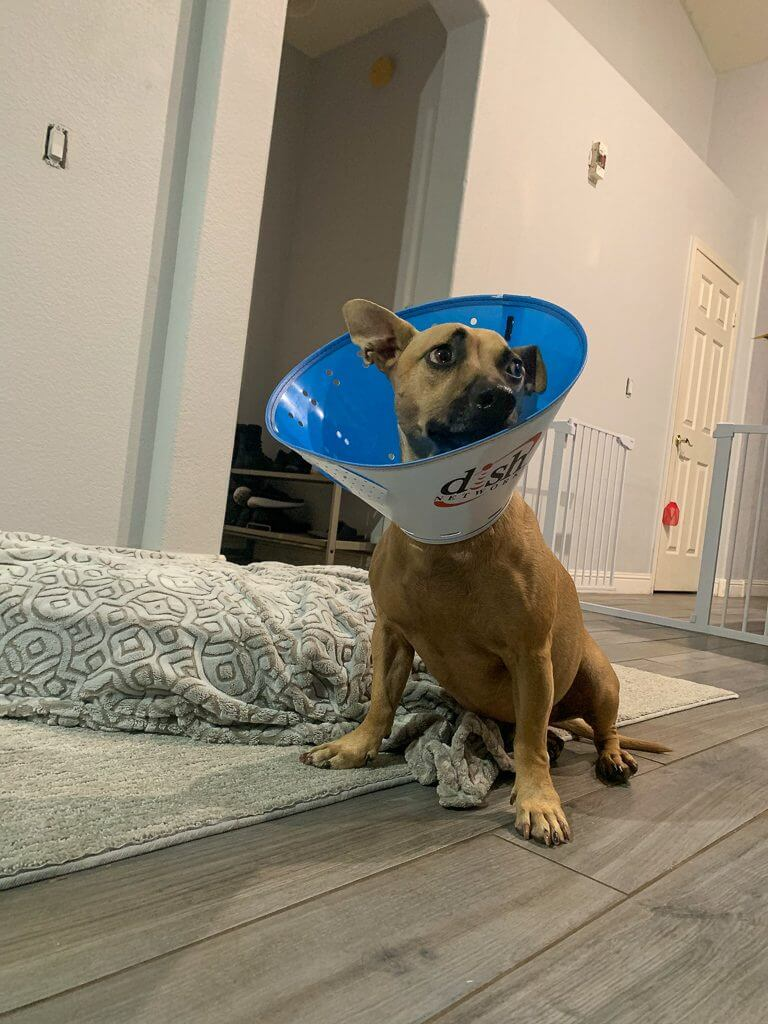 tan dog with e-collar with dish logo on the side
