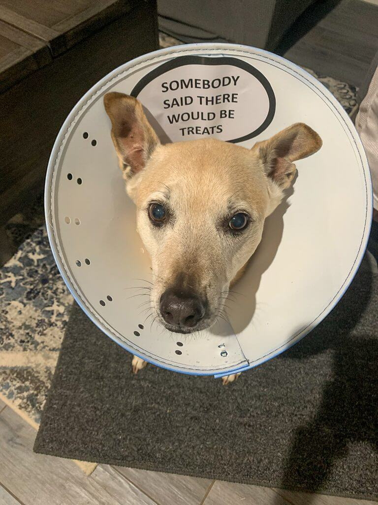 """tan dog with e-collar with a thought bubble on it that says """"somebody said there would be treats."""""""
