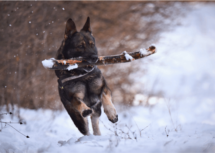 Black and brown dog carrying a stick outdoors in the snow. Winter Weather Must-Haves for Your Dog
