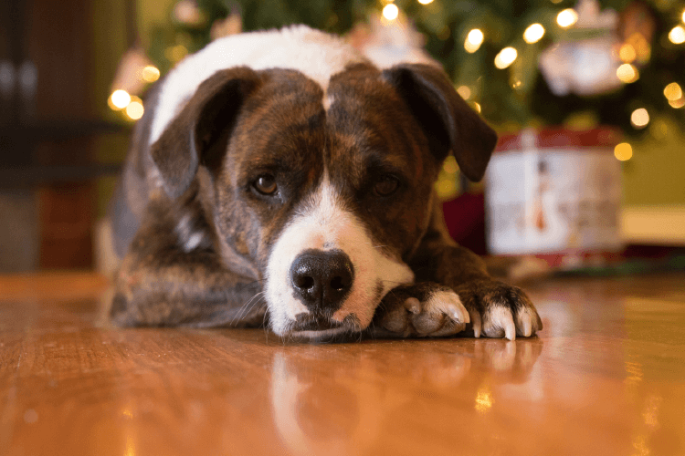 brown and white dog laying in front of christmas tree