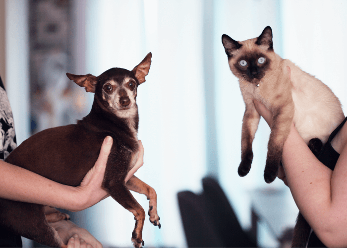 small dark colored dog with a Siamese cat