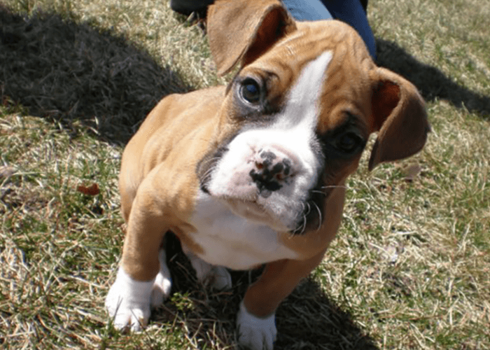 fawn and white boxer puppy sitting in grass