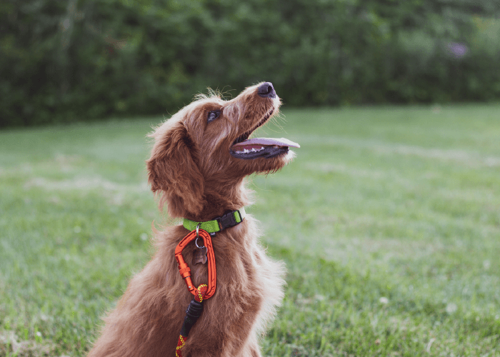 Medium-sized brown dog with green collar, sitting in the grass. Is Your Dog Ready for Advanced Training