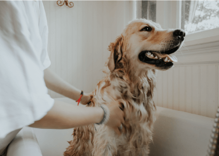Golden retriever in a white bath tub, being bathed