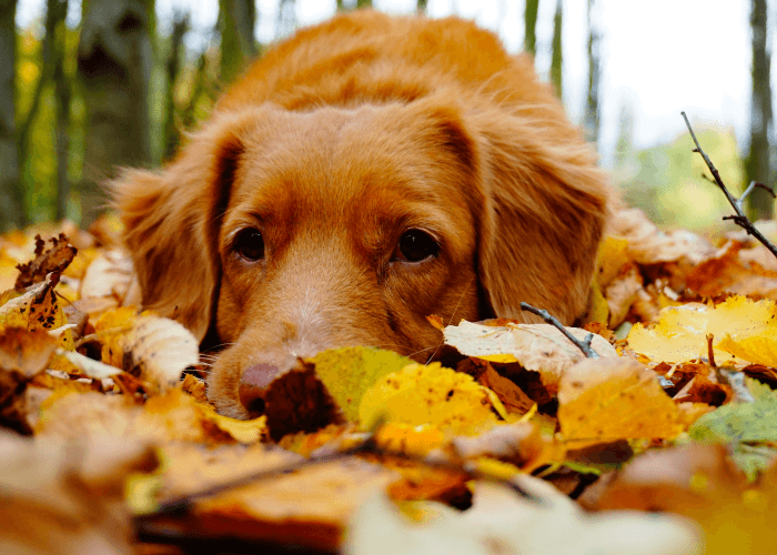 golden retriever laying in fall leaves
